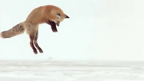 Fox Dives Headfirst Into Snow (In Slow Motion) | Brain Farm